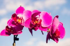 Orchid flower pink on blue sky background Royalty Free Stock Photography