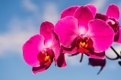 Orchid flower pink on blue sky background Royalty Free Stock Image