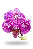 Orchid Flower Pink  Royalty Free Stock Photography