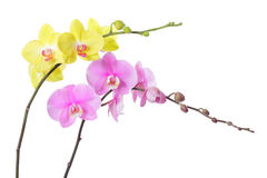 Orchid flower Royalty Free Stock Images