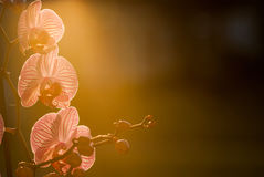 Orchid flower plant close up with pink petals on green nature ba. Orchid plant in evening light with flowering pink petals in sunset royalty free stock images