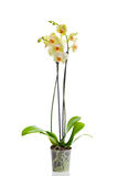 Orchid flower in the pot Stock Image
