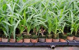 Orchid flower pots Stock Images