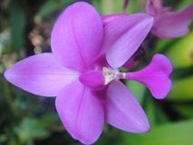 Orchid flower. A purple colour orchid flower Royalty Free Stock Photography