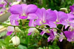 Orchid flower. Purple orchid flower, green background Stock Photography