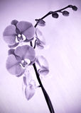 Orchid flower in purple tones Stock Photos