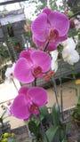 Orchid_FLOWER_ROMANCE_03 image libre de droits