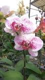 Orchid_FLOWER_ROMANCE_08 images libres de droits