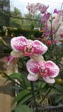 Orchid_FLOWER_ROMANCE_07 image libre de droits