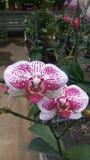 Orchid_FLOWER_ROMANCE_06 image stock