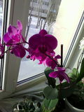 Orchid. Flower Room grin stock photos