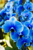 Orchid on flower show. Flower in a pot. Beautiful blue orchid on flower show. Flower in a pot Royalty Free Stock Photography