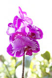Orchid flower. Spring orchid flower in spring sun Stock Photography