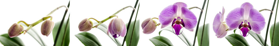 Orchid flower stages of growth. Four stages of growth with Orchid flower isolated on a white background Stock Photo