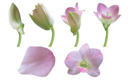 Orchid flower. Stages of growth - Orchid flower isolated on white background Stock Photos
