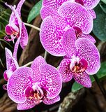 Orchid Flower In Thailand. Colorful orchids growing in a garden Stock Photography