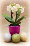 Orchid flower and three easter eggs Royalty Free Stock Photos