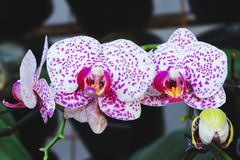 Orchid flower in tropical garden. Phalaenopsis Orchid flower.Floral background. Selective focus stock image