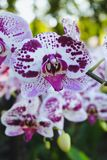Orchid flower in tropical garden. Phalaenopsis Orchid flower.Floral background. Selective focus royalty free stock photo