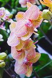 Orchid flower in tropical garden. Phalaenopsis Orchid flower.Floral background. Selective focus stock images