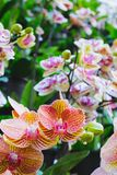 Orchid flower in tropical garden. Phalaenopsis Orchid flower.Floral background. Selective focus stock photos