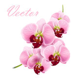 Orchid flower vector background Royalty Free Stock Images