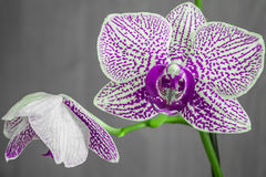 Orchid flower. 2 violet Orchid flowers with grey background Royalty Free Stock Photo
