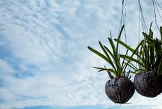 Orchid flower waiting to bloom. stock photo
