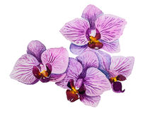Free Orchid Flower. Watercolor Floral Illustration Royalty Free Stock Photo - 56774575