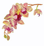 The orchid flower watercolor hand drawing painting on the wallpaper isolated Stock Photography