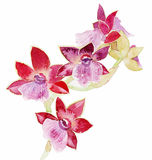 The orchid flower watercolor hand drawing painting on the wallpaper isolated Royalty Free Stock Image