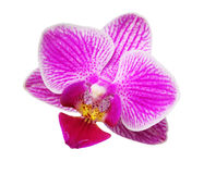 Orchid flower on white Stock Photography