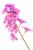 Orchid. Flower on white background Royalty Free Stock Image