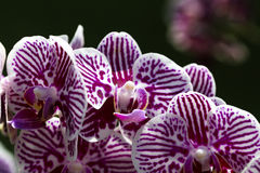 Orchid Flower , White-Magenta Royalty Free Stock Images