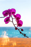 Orchid flower on the window. Royalty Free Stock Image