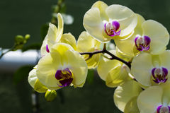 Orchid Flower - Yellow. Yellow orchid flowers over a dark green background stock photography
