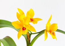 Orchid flower. Yellow orchid flowers on a white background Royalty Free Stock Image