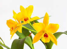 Orchid flower. Yellow orchid flowers on a white background Stock Photos