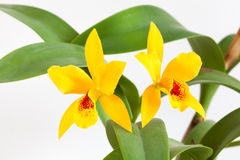 Orchid flower. Yellow orchid flowers on a white background Royalty Free Stock Photography