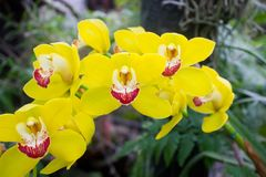 Orchid flower yellow Royalty Free Stock Images