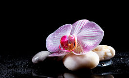 Orchid flower with zen stones Royalty Free Stock Photo