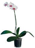 Orchid in flowerpot. White and Pink orchid in flowerpot stock image