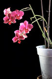 Orchid in a flowerpot Stock Photography