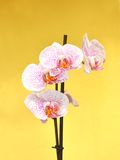 Orchid flowers Stock Photography