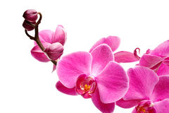 Orchid Flowers. Beautiful orchid flowers studio shot Stock Photo