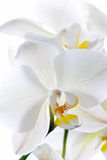 Orchid flowers. Stock Photography