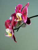 Orchid flowers. Spray of beautiful Orchid flowers in tropical Hawaii Stock Photos