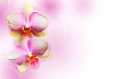 Orchid flowers. On abstract background royalty free stock photo