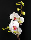 Orchid. Flowers against a black background Stock Photo