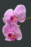 Orchid. Flowers against a dark background Stock Photos